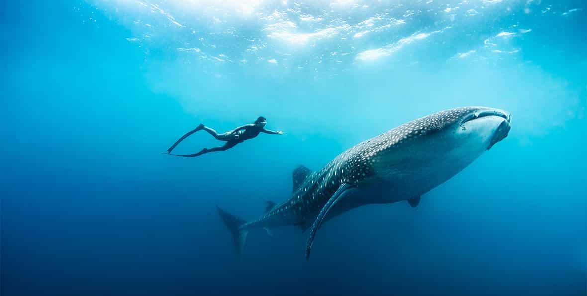 buceador con tiburón ballena