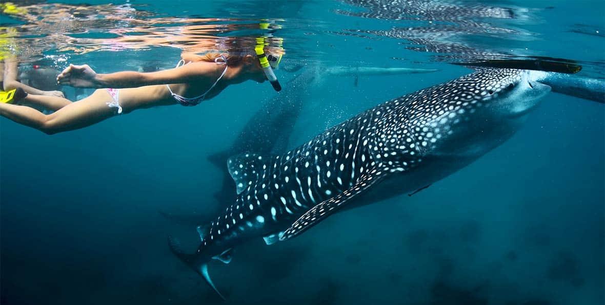 snorkeling con tiburon ballena