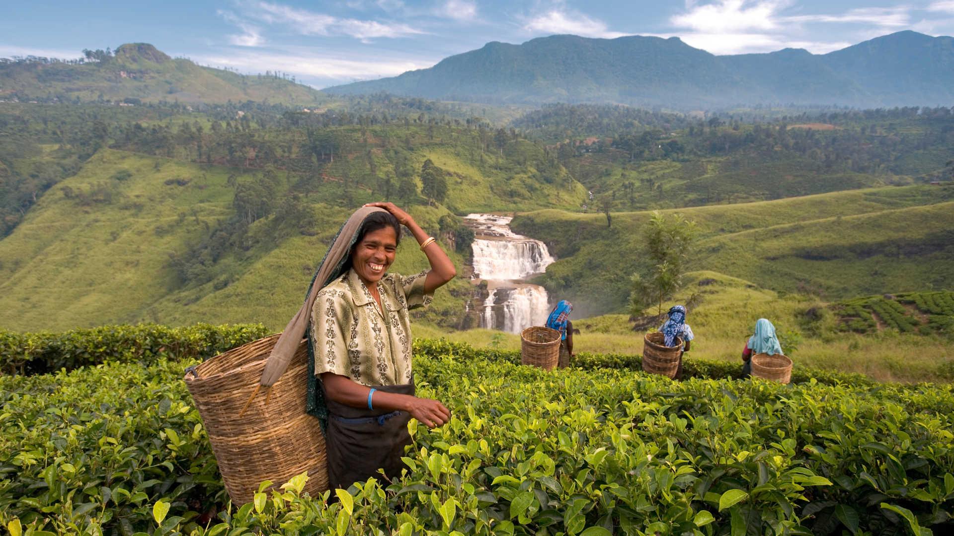 Mujeres en las plantaciones de te de Nuwara Eliya