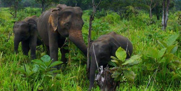 Elefantes en el orfanato de Pinnawala enSri Lanka