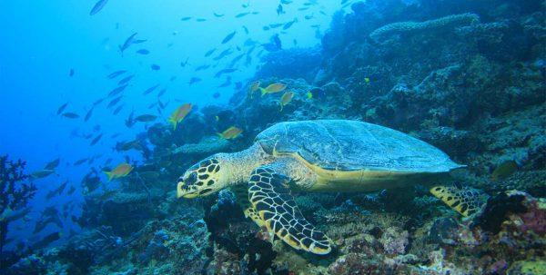 Angsana Ihuru: tortuga en el mar