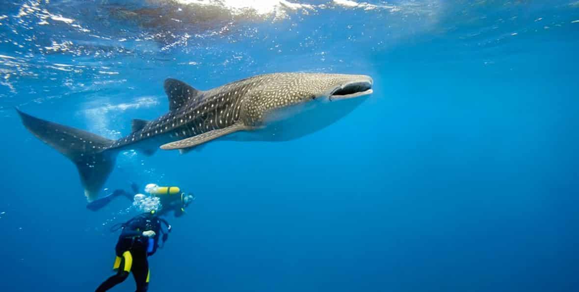 Lo squalo balena durante le tue vacanze alle Maldive