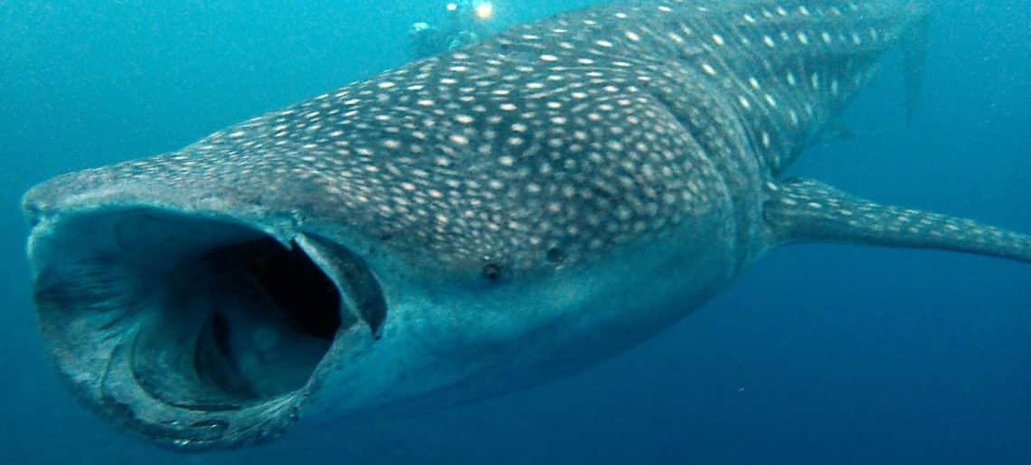 Tiburón ballena en Maldivas