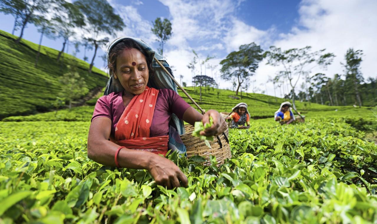 Plantaciones de te de Nuwara Eliya