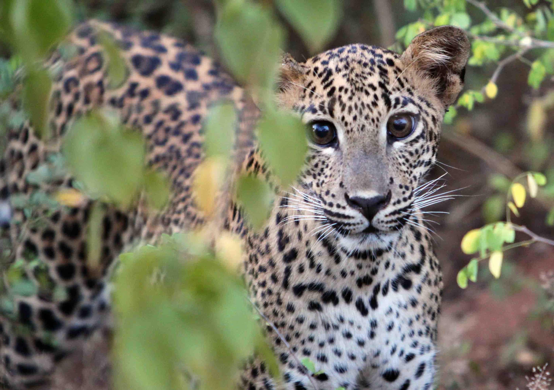 Cachorro de leopardo en el Parque Nacional de Yala